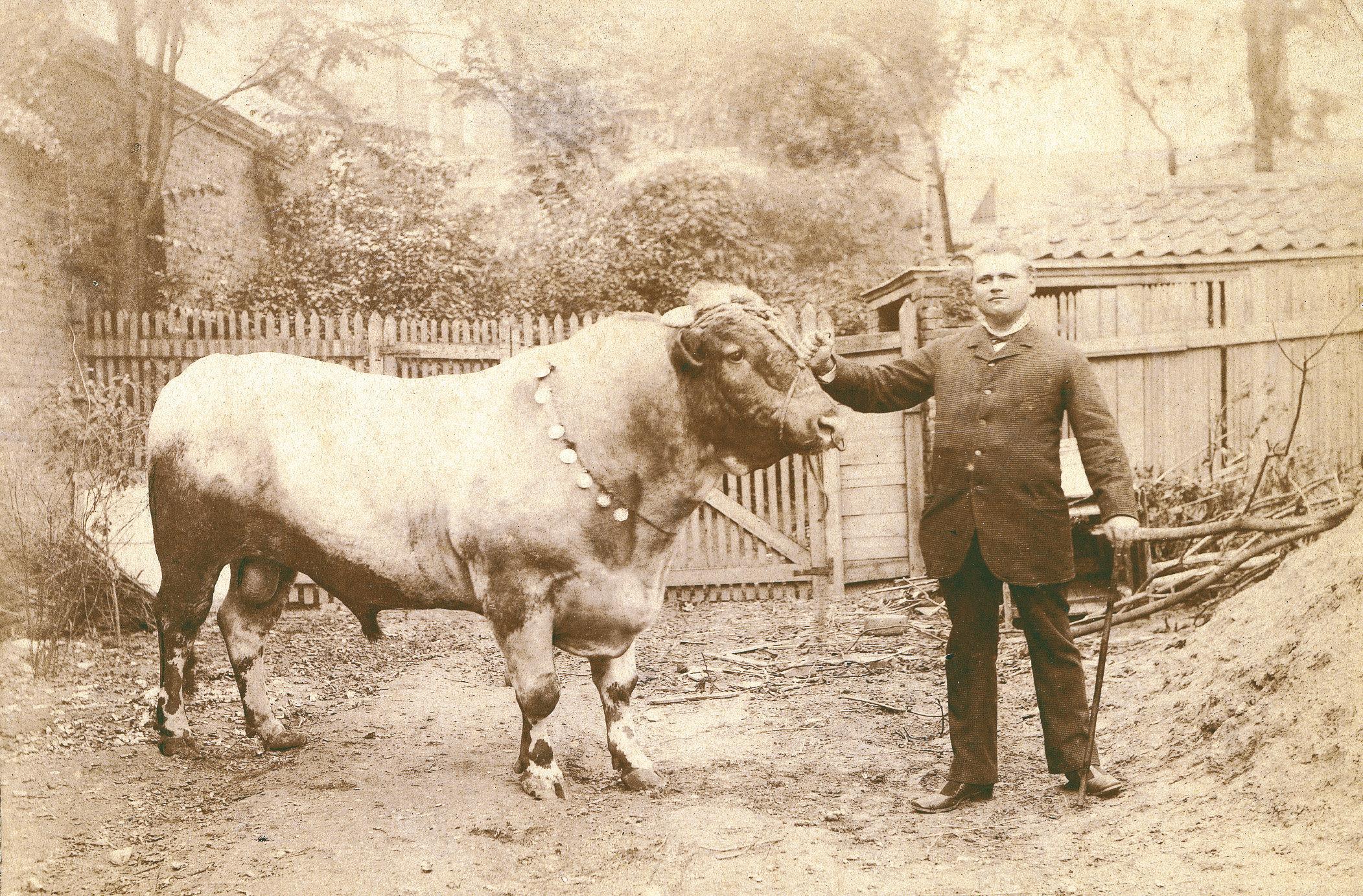 Aagje van Jan Stapel uit Oudendijk, Amerikaanse koeienkopers uit de 19e eeuw